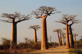 baobab tree kenya